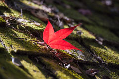 Maple in Autumn Season Stock Image