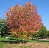 Maple autumn Royalty Free Stock Photos