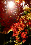 Maple. Autumn sunlight through leaves projected onto the ground Royalty Free Stock Photography