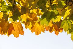 Maple autumn. The top of the maple tree with the color changed foliage, autumn, close-up stock photo