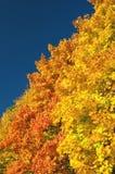 Maple autumn trees Stock Images