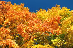 Maple autumn trees. Colorful maple trees in the autumn stock photos