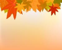 Maple in autumn Stock Image