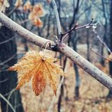 maple in autumn royalty free stock photography
