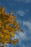 Maple in autumn. Maple in autumn with yellow and orange leaves and blue skies Stock Photo