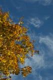 Maple in autumn. Stock Photo