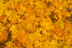Maple Autumnal Leaves Royalty Free Stock Photos