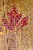 Maple autunm leave Stock Photos