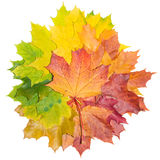 Maple background Stock Images