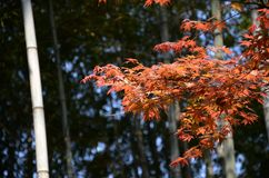 Maple. Bamboo and maple Royalty Free Stock Image