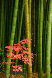 Maple and bamboo Royalty Free Stock Image