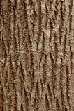 Maple bark background. Background with patterns of an old mapple bark Stock Photography