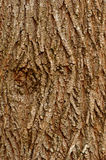 Maple bark background. Background with patterns of an old mapple bark Stock Images