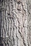 Maple bark Stock Image
