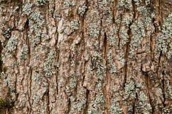 Maple bark Royalty Free Stock Image