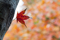 Maple with beautiful color. Maple with beautiful background color Royalty Free Stock Images