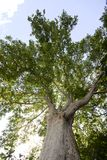 Maple, big old tree in park. Of Sassenage, Grenoble, France royalty free stock photos