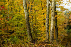 Maple and birch forest, autumn Royalty Free Stock Image