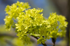 Maple blossoms macro Royalty Free Stock Photography