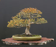 Maple bonsai stock images
