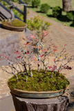 Maple bonsai royalty free stock photography