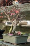 Maple bonsai in a green house. Closeup of maple bonsai in a green house royalty free stock photography