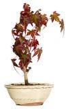 Maple bonsai in the pot Stock Image