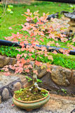 Maple bonsai tree Stock Photos