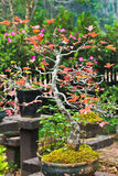 Maple bonsai tree Stock Photo
