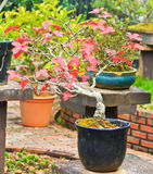 Maple bonsai tree Royalty Free Stock Images