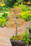 Maple bonsai tree Stock Photography