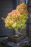 Maple bonsai tree Royalty Free Stock Image