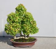 Maple bonsai Royalty Free Stock Images