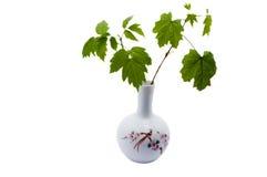 Maple branch. Green maple branch in white ceramic vase Stock Image