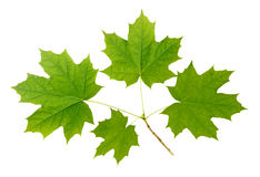 Maple branch Stock Images