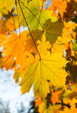 Maple branch. With autumnal coloration leaves Stock Photography