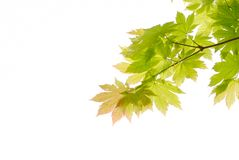Maple branch Royalty Free Stock Image