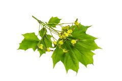 Maple branch acer platanoides with flowers on stage of ovary f. Ruit isolated on white. Fruits being double samara with two winged seeds. Spring flowering plants Stock Images