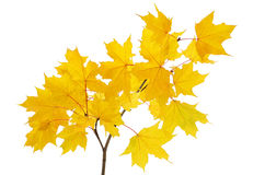 Maple branch with bright yellow leaves Stock Image