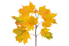 Maple branch with bright yellow leaves Royalty Free Stock Photo