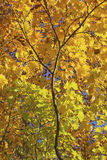 Maple branch with colorful autumn leaves Royalty Free Stock Photos