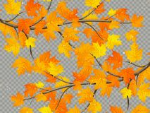 Maple branch with colorful leaves isolated on transparent background. EPS 10 royalty free illustration