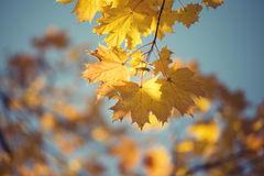 Maple branch by fall Stock Images