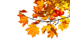 Maple branch with fall leaves stock image