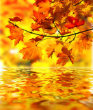 Maple branch with fall leaves. Maple tree branch with fall leaves over water Stock Image