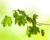 Maple branch Royalty Free Stock Photos