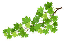 Maple branch with green leaves. Super realistic vector illustration, isolated on white background. Plant element for design cards about nature royalty free illustration