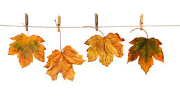 Maple branch hanging on clothesline isolated Royalty Free Stock Photos