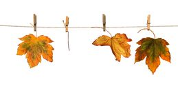 Maple branch hanging on clothesline isolated Royalty Free Stock Image