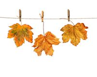 Maple branch hanging on clothesline isolated Stock Photography